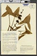 Image of Sagittaria australis