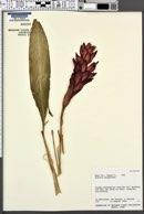 Alpinia purpurata image