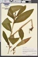 Image of Hedychium horsfieldii