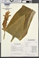 Image of Curcuma australasica
