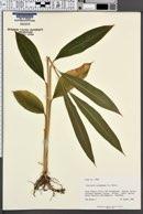 Image of Elettaria cardamomum