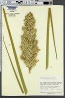Image of Dasylirion leiophyllum