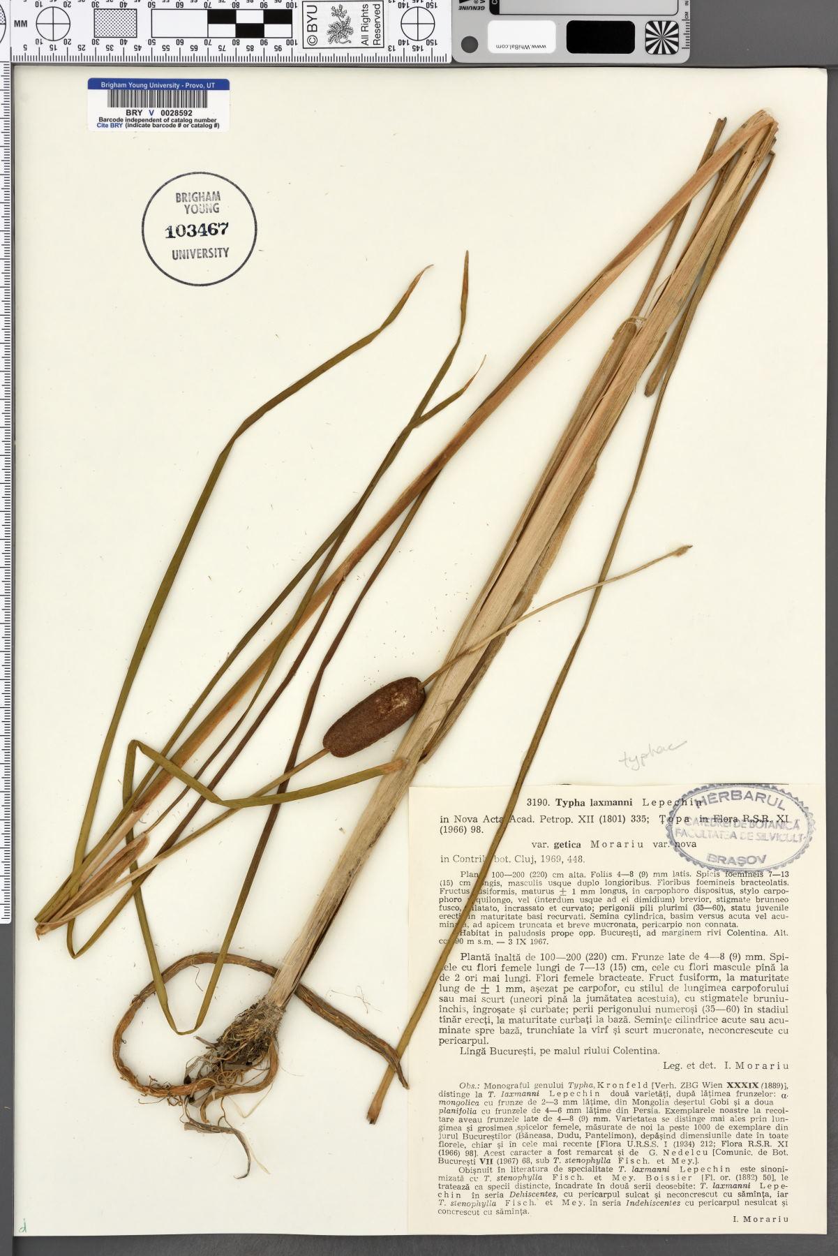 Typha laxmannii image