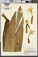 Image of Hedychium forrestii