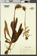 Image of Orchis italica