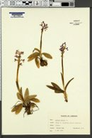 Image of Orchis morio