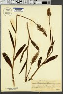Dactylorhiza fuchsii image