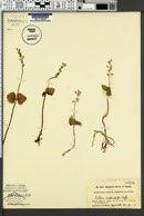 Listera nephrophylla image