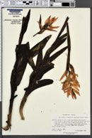 Image of Spiranthes cinnabarina