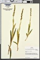 Piperia dilatata image