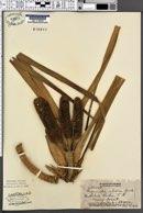 Freycinetia arborea image