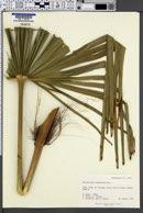 Trachycarpus wagnerianus image