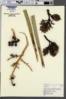 Image of Trachycarpus wagnerianus