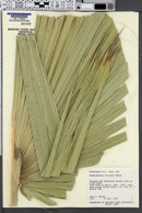 Washingtonia filifera image