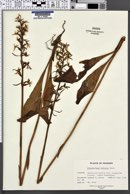 Image of Platanthera bifolia