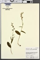 Image of Platanthera ophrydioides
