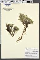 Phlox opalensis image