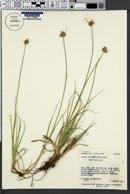 Carex athrostachya image