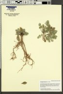Astragalus lutosus image