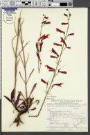 Penstemon barbatus image
