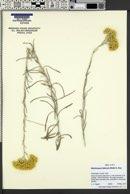 Helichrysum italicum image
