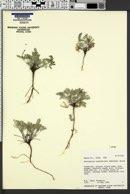 Astragalus consobrinus image