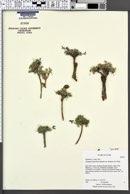 Astragalus limnocharis image