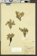 Astragalus loanus image