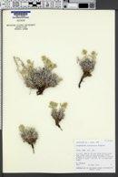 Oreocarya ochroleuca image