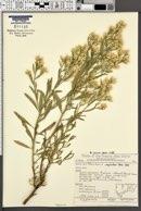 Baccharis salicina image