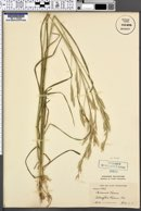 Image of Bromus tacna