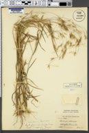 Image of Bromus adoensis