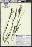 Bromus brachyanthera image