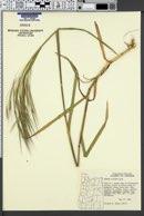 Bromus diandrus subsp. rigidus image