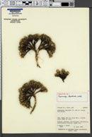 Hymenoxys lapidicola image