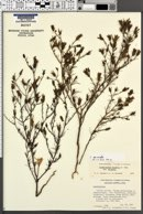Cordylanthus wrightii image