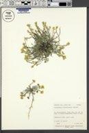 Lesquerella hemiphysaria image