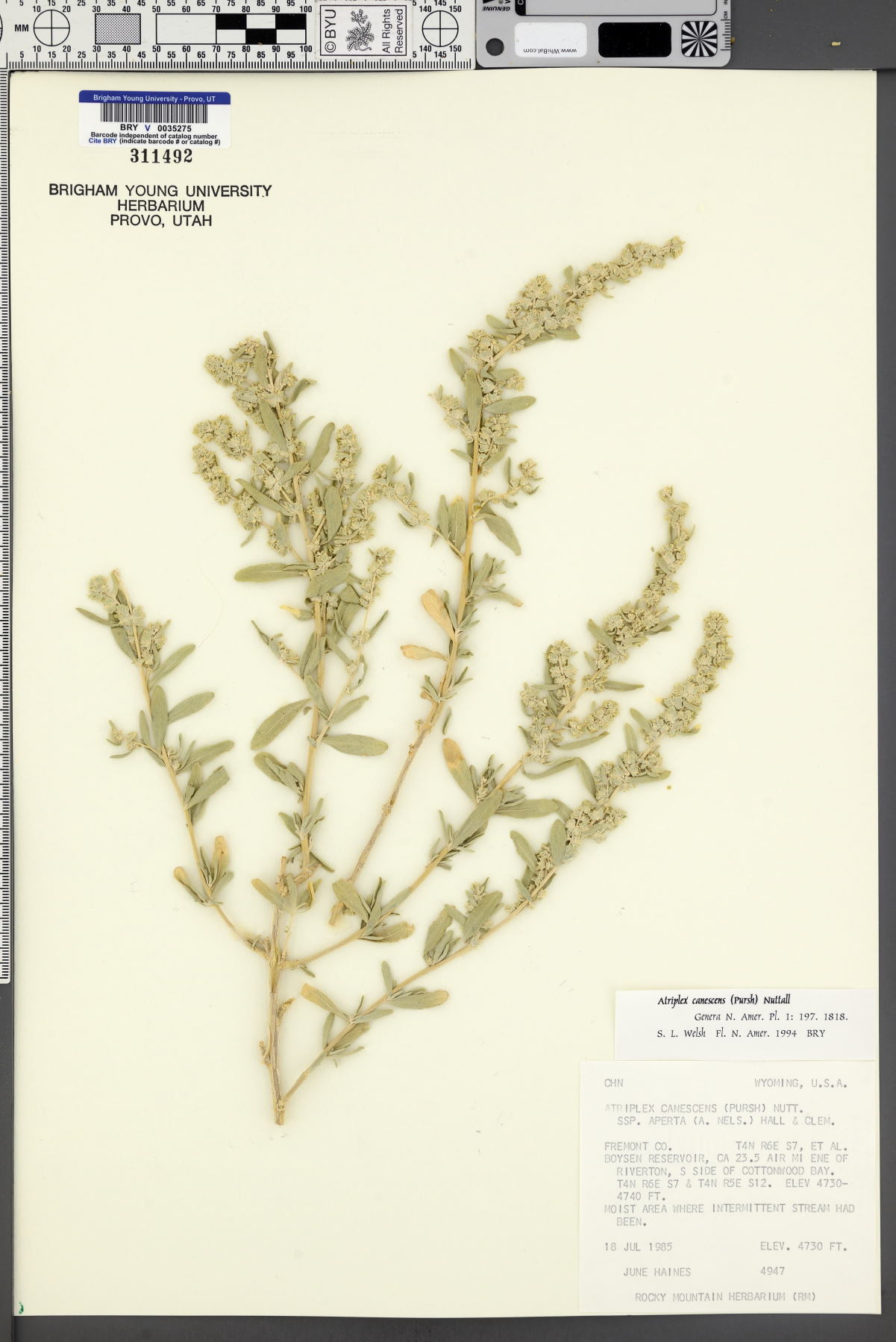 Atriplex canescens subsp. aptera image