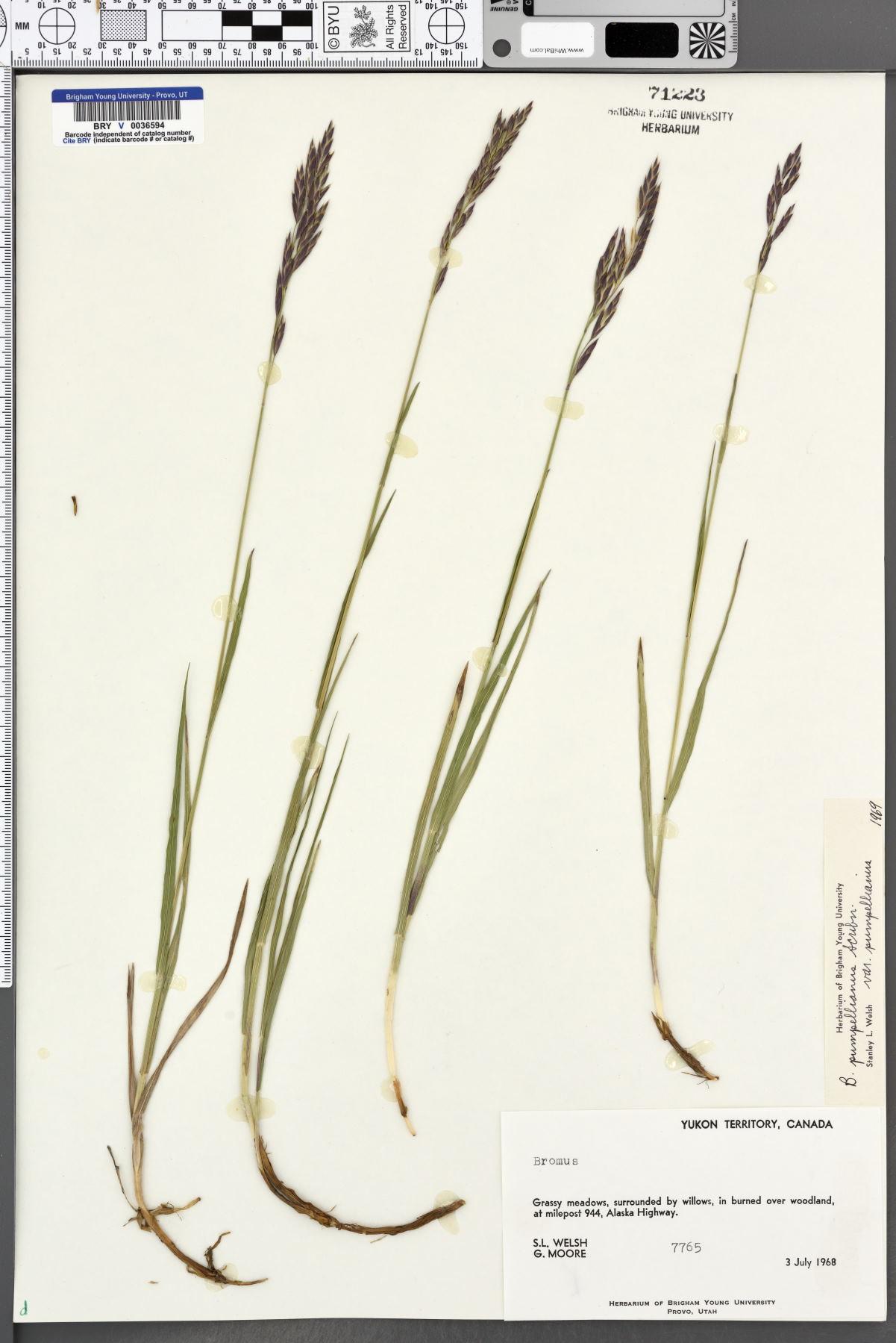 Bromus pumpellianus var. pumpellianus image
