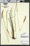 Calamagrostis purpurascens image