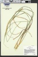 Calamagrostis scopulorum image
