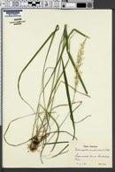 Calamagrostis arundinacea image