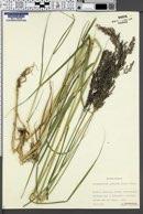 Calamagrostis purpurea image