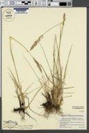 Image of Calamagrostis lepageana