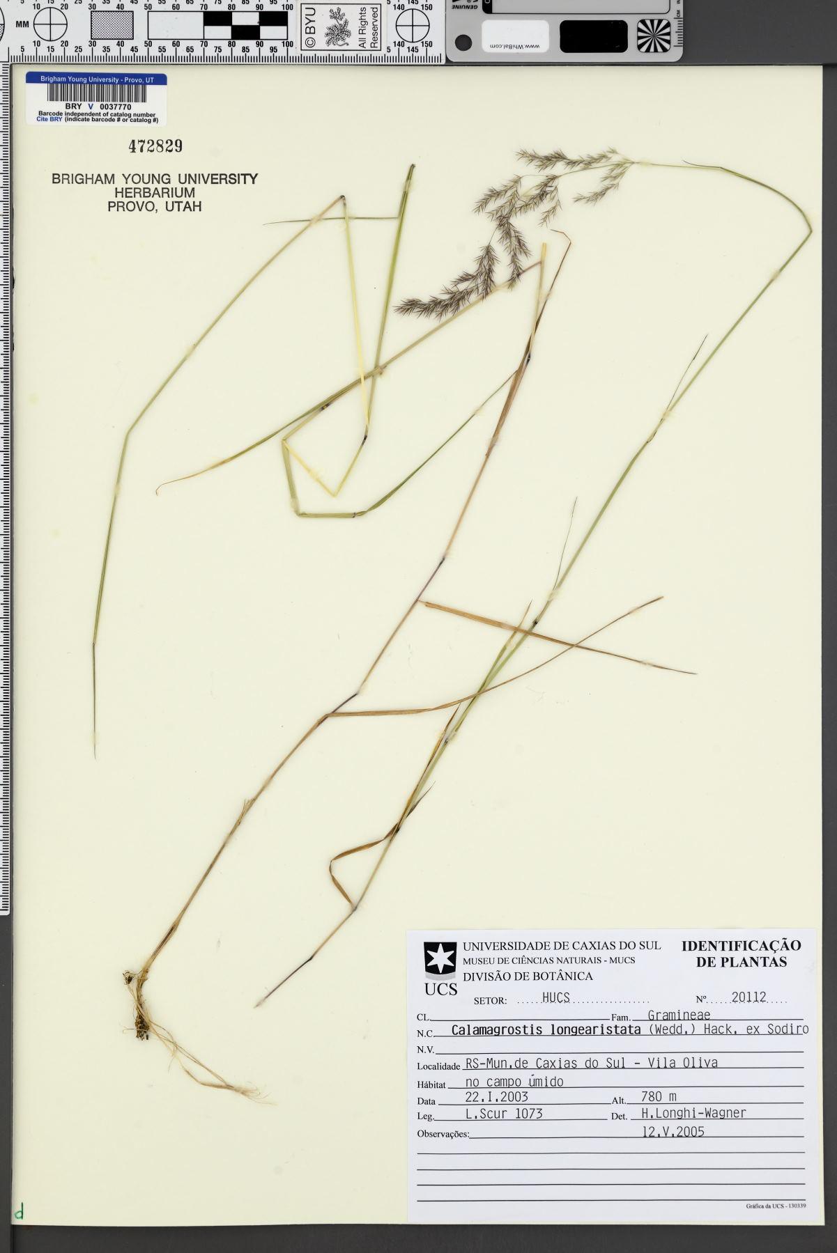Calamagrostis rupestris image