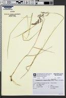 Image of Calamagrostis rupestris
