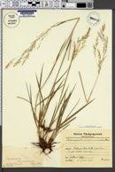 Image of Calamagrostis viridiflavescens