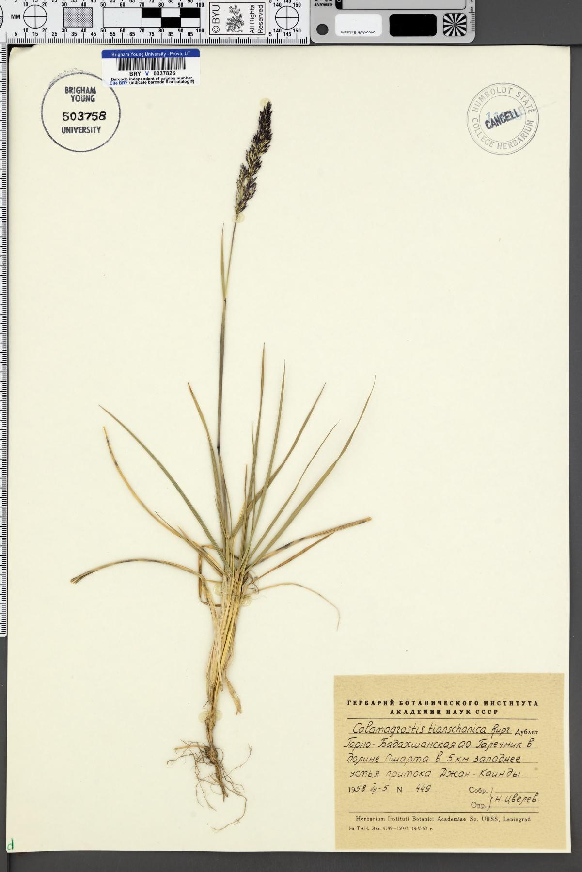 Calamagrostis tianschanica image