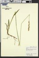 Calamagrostis tweedyi image