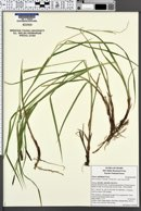Carex sheldonii image
